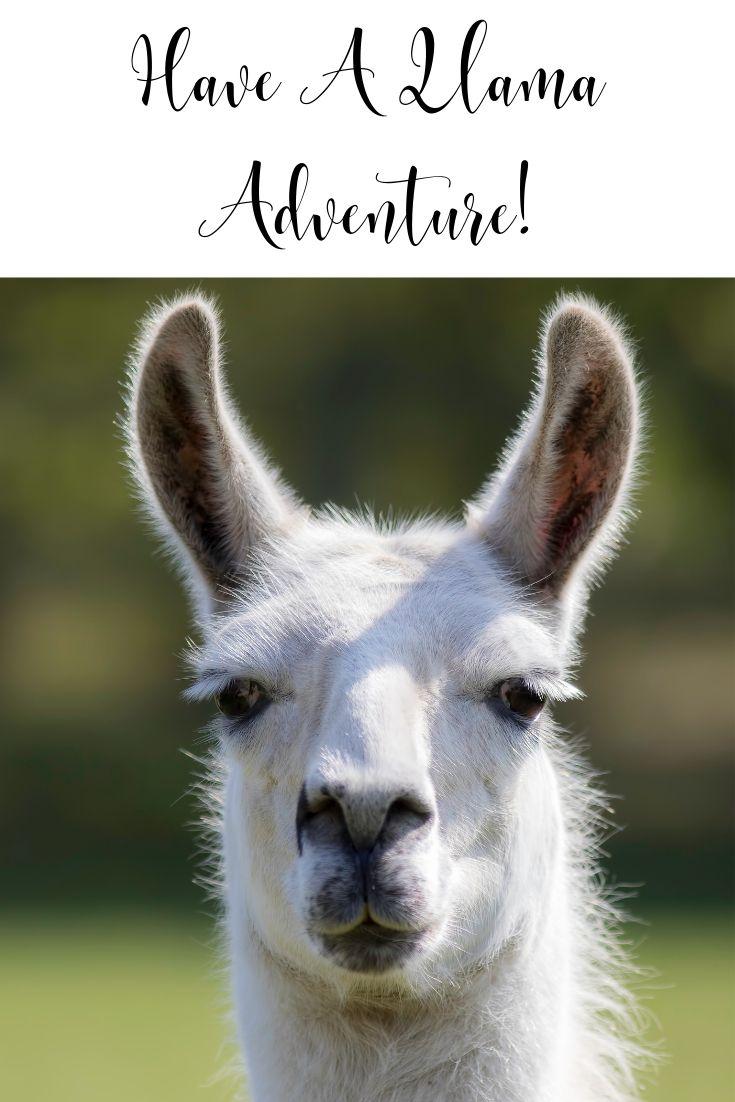 Looking for something fun to do? No prob-llama. That's right we said llama. Have a llama adventure!